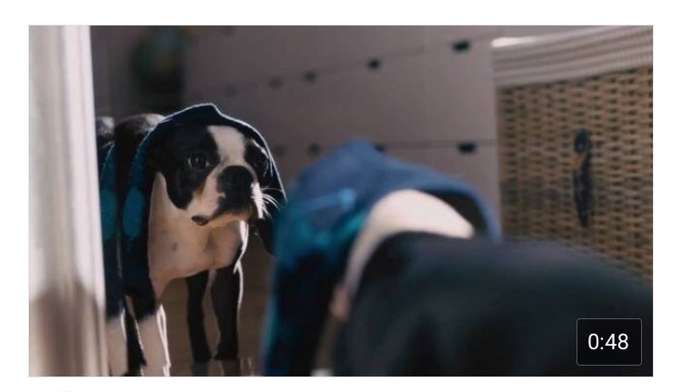 IKEA commercial featuring a Boston Terrier