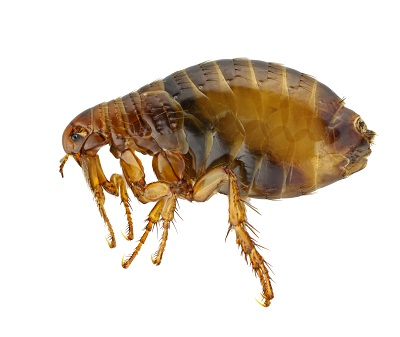 Flea that can be killed organically by nematodes