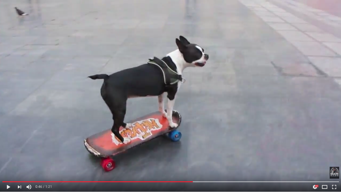 Boston Terriers Skateboarding in Beziers