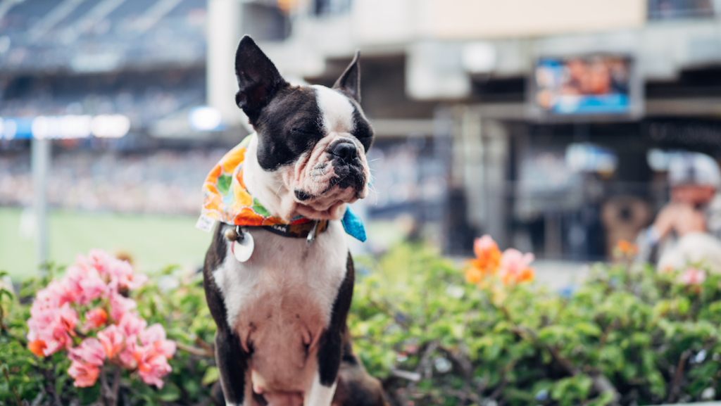 Dog Days of Summer at Petco Park and the Barking Yard