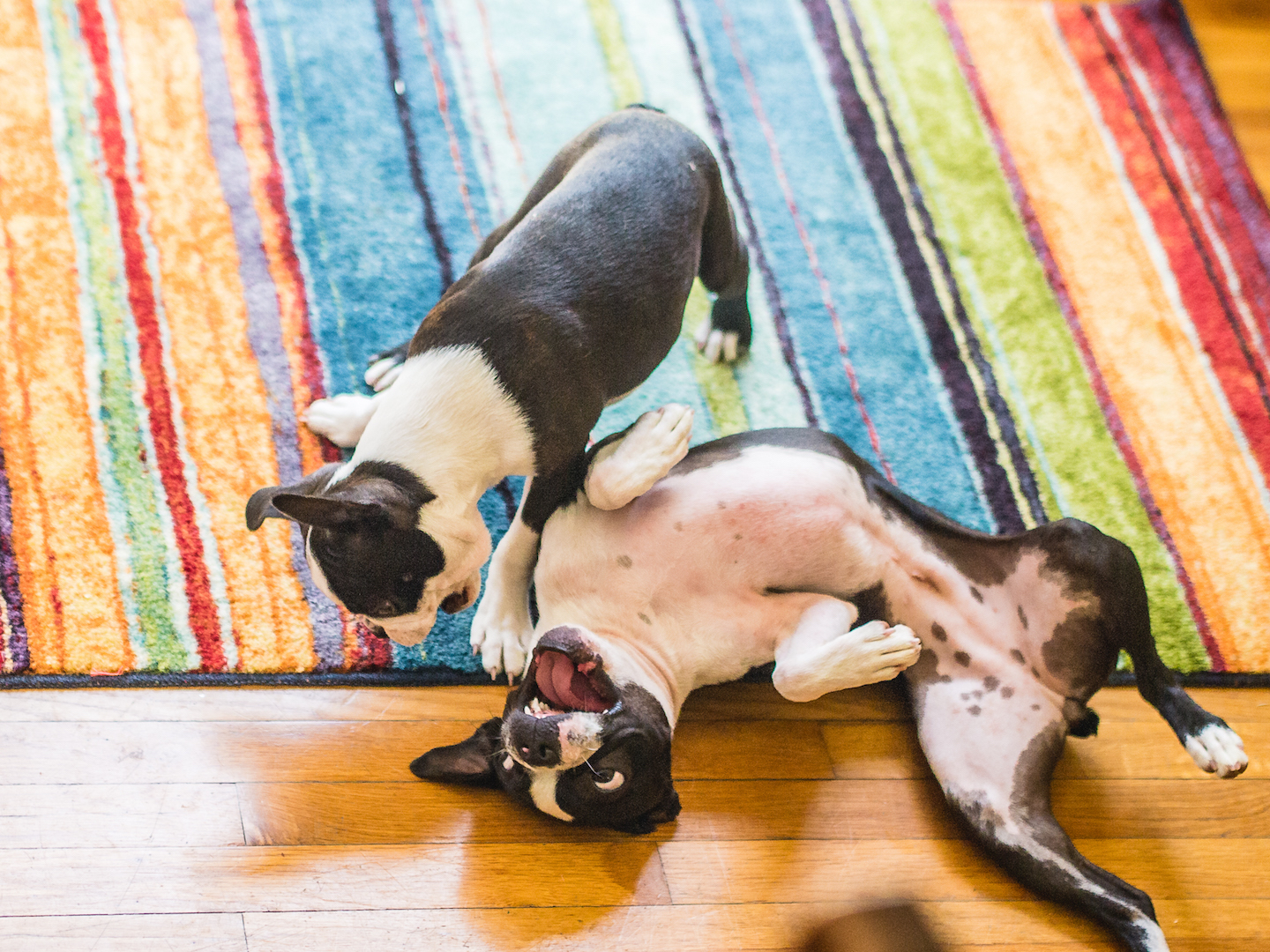 how-to-get-your-two-dogs-to-get-along