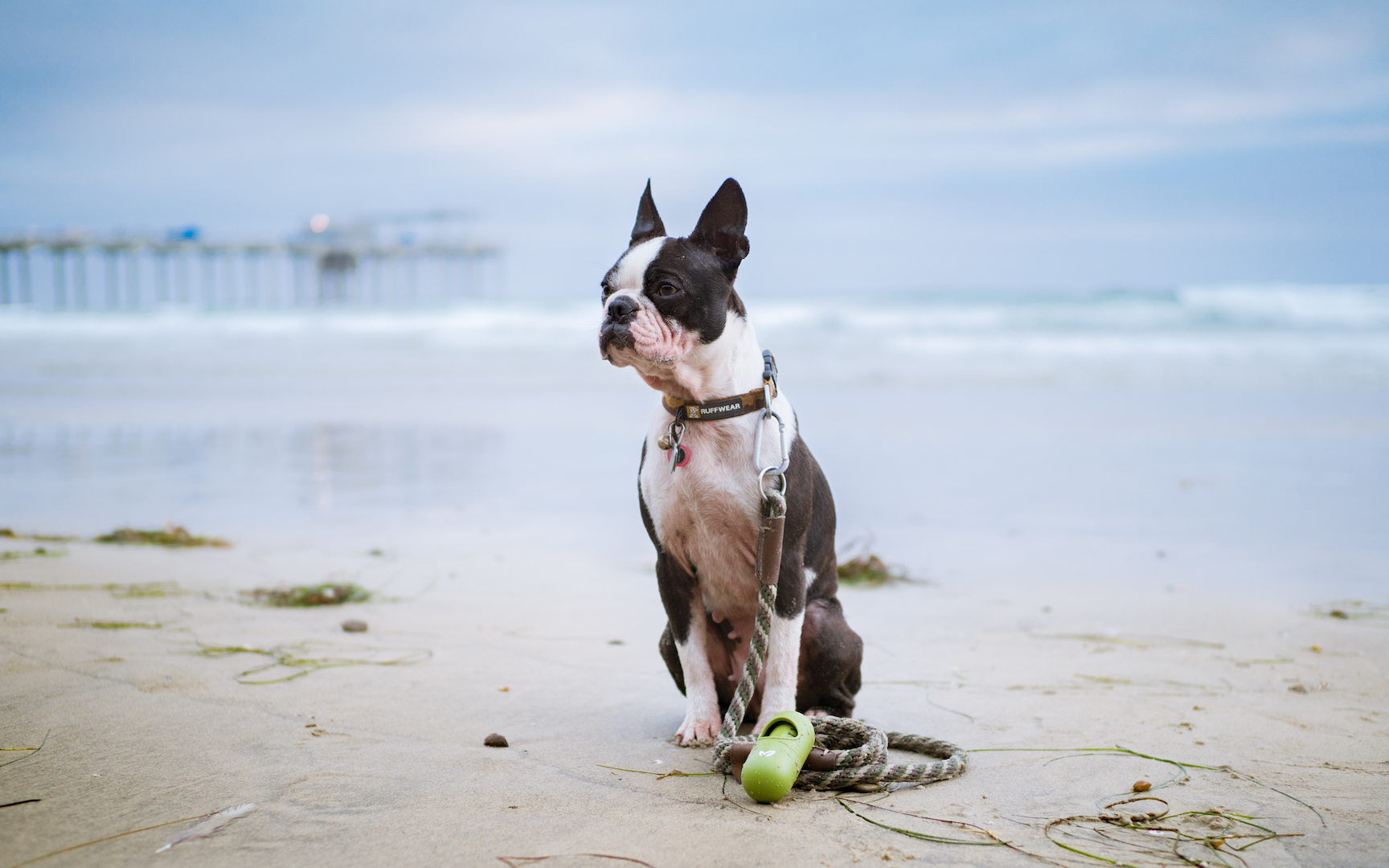 Earth Rated in La Jolla Scripps Pier with Boston Terriers