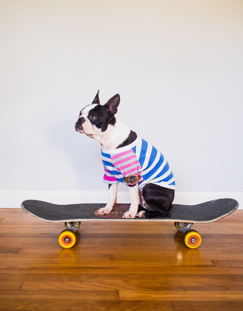Boston Terrier Puppy on a Skateboard Wearing a JORD Watch