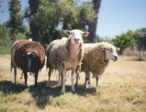 Chasing Sheep