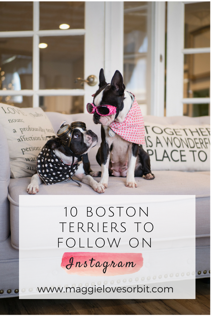 Fav Follow Friday:  10 Boston Terriers to Follow on Instagram