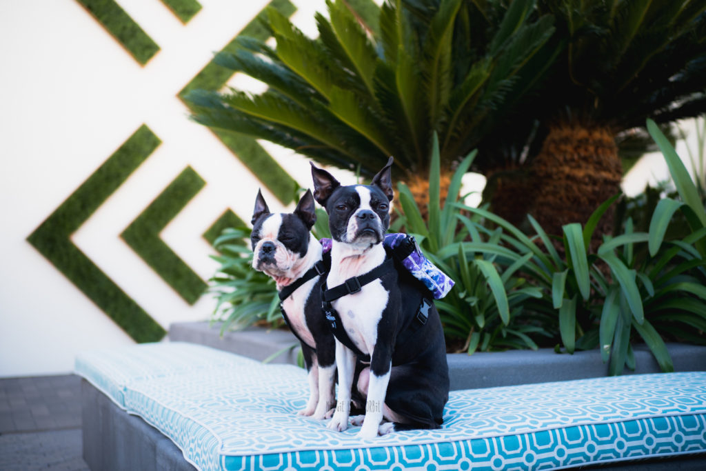 Dog Back Packs for your Boston Terrier