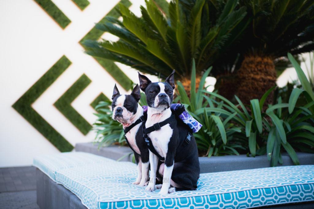 Dog Back Packs for your Boston Terrier