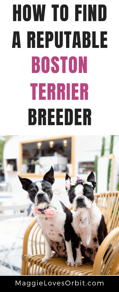 Looking for a Boston Terrier to add to your family?  Learn how to to find and meet a reputable boston terrier breeder.