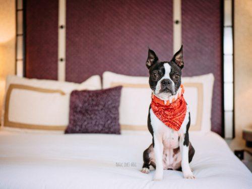 Boston Terriers Review Kimpton Hotel Solamar San Diego