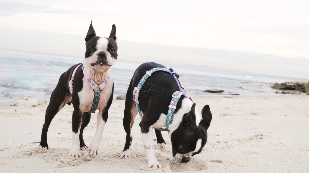 41 items we cannot live without from Amazon for our Two Boston Terriers