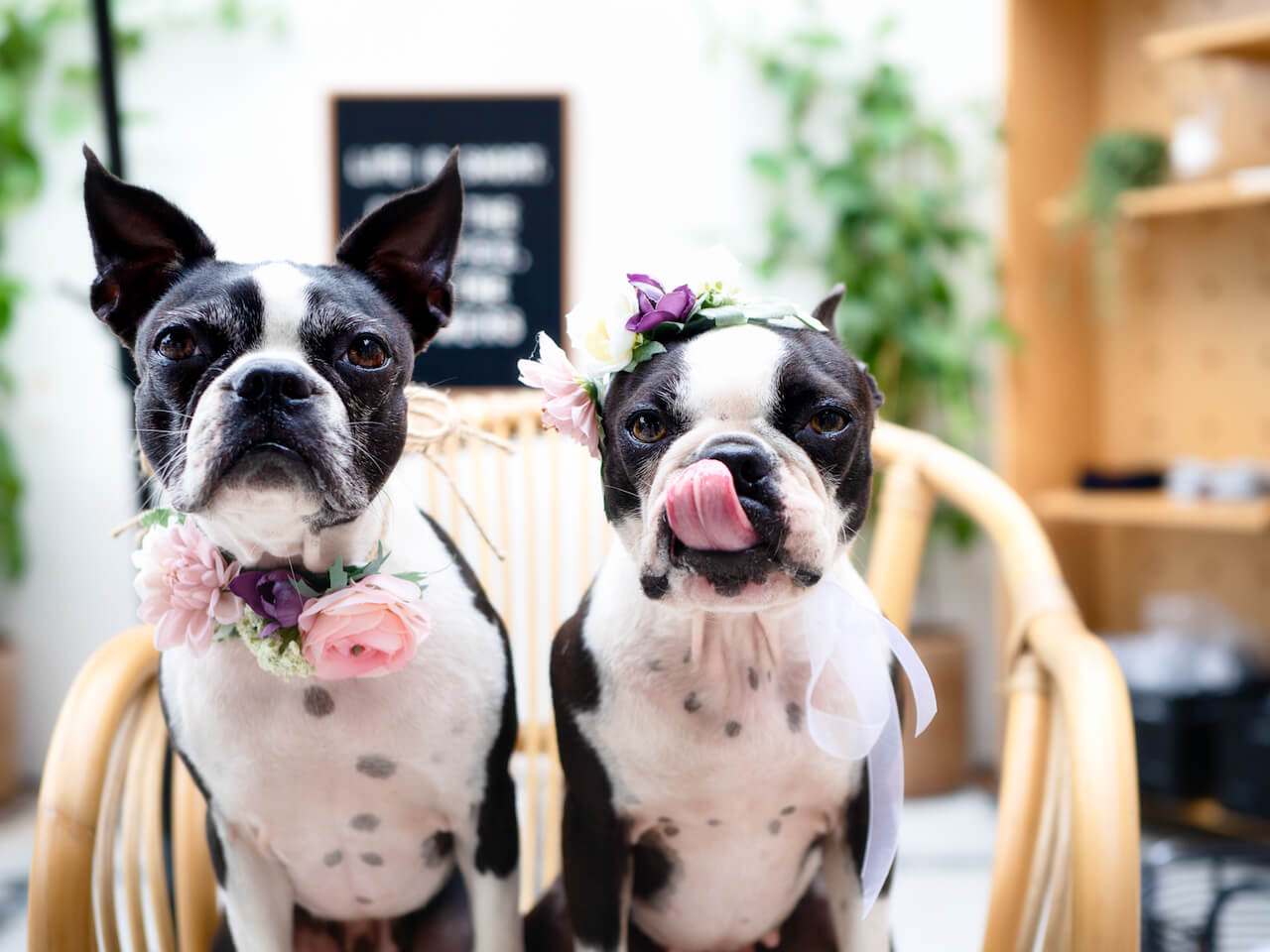 15 Boston Terrier Duos on Instagram