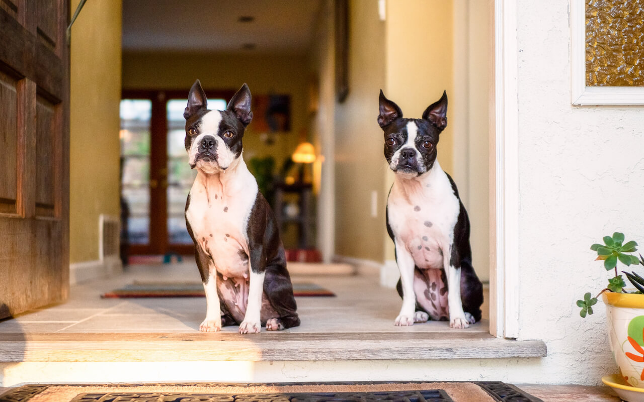 How to stop my boston terriers from barking at the doorbell