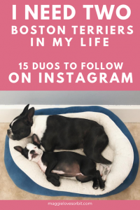 add a second boston terrier two boston terriers follow instagram