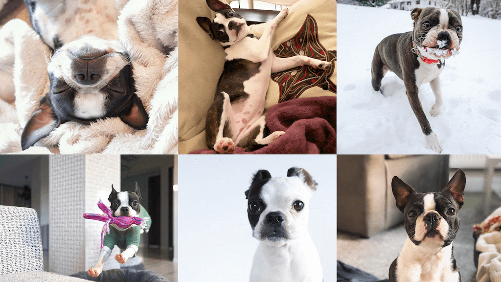 blog banner photo of for 20 cute boston terriers to follow on instagram