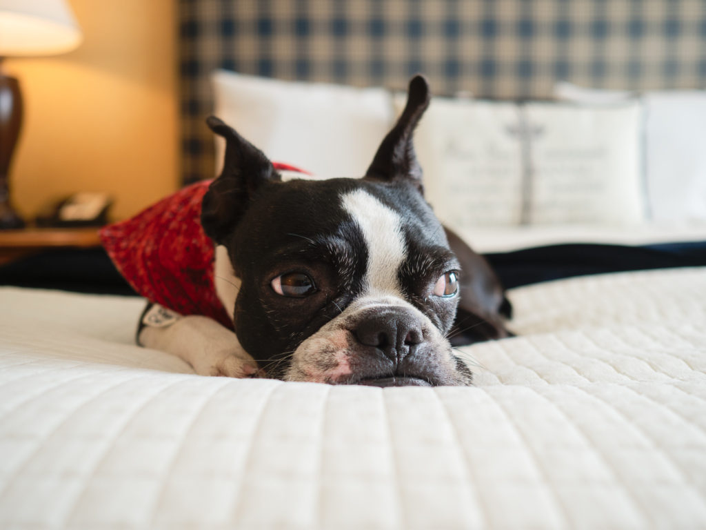 boston terrier on hotel bed