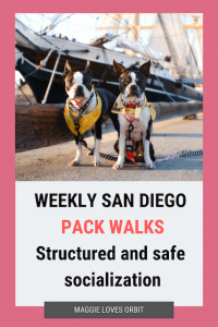 Boston Terriers posing next to Star of India with graphic that says pack walks