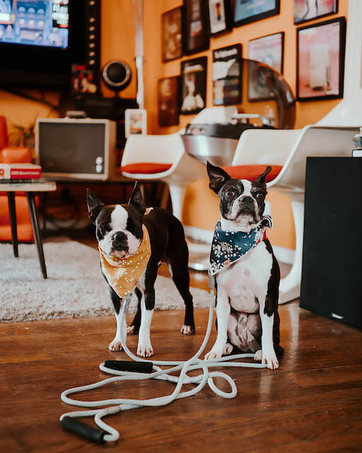 two boston terriers at a vinyl store