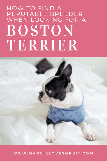 pinterest image how to find a boston terrier breeder