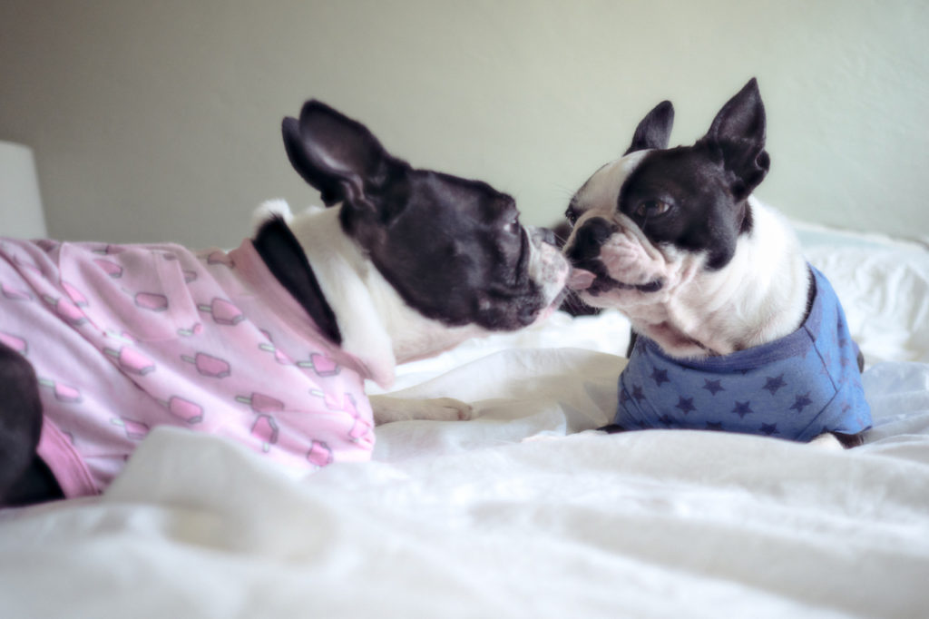 boston terriers in bed in pajamas