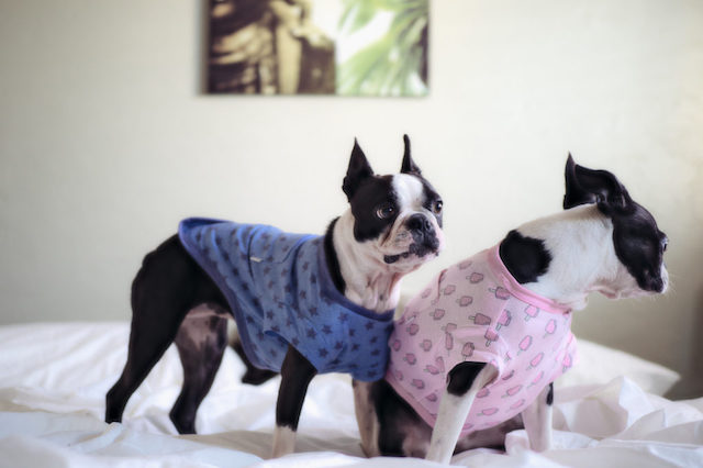 two boston terriers playing in bed