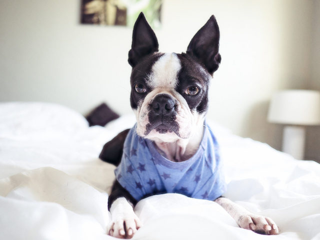 boston terrier in bed in pajamas