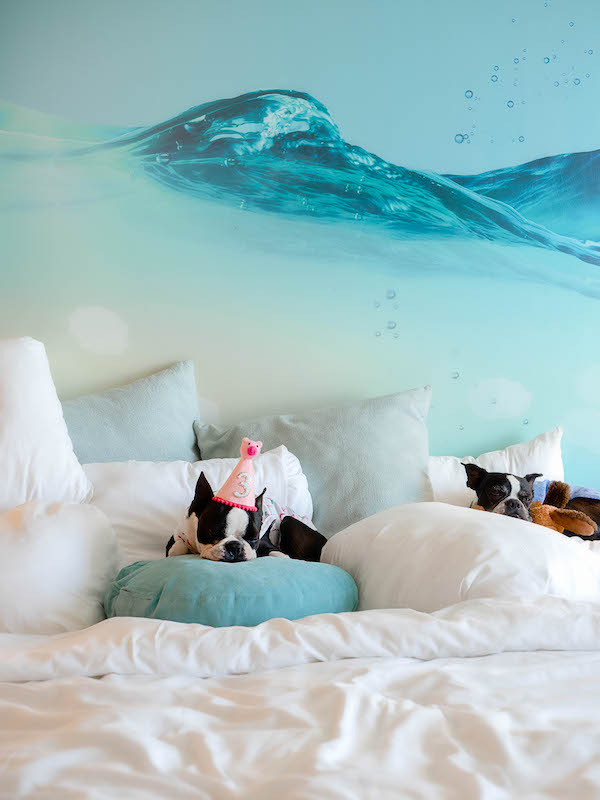 two boston terriers on bed at dog friendly pasea hotel