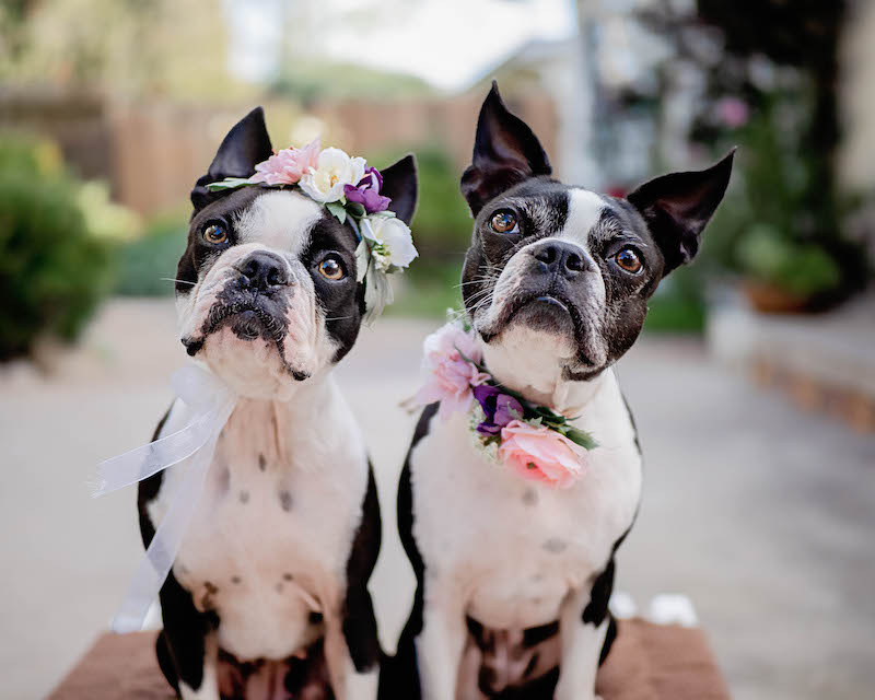 boston terriers in flower crowns