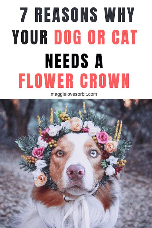 australian shepherd wearing flower crown