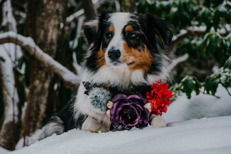 merle aussie wearing flower crown collar