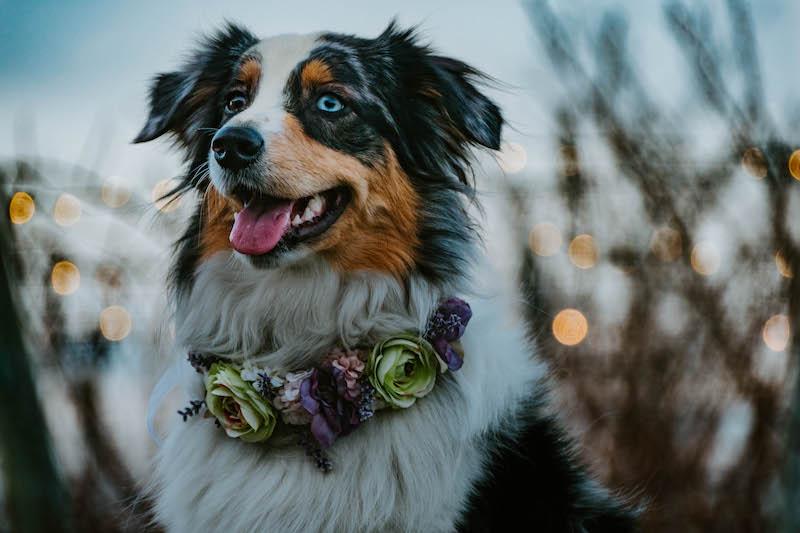 merle aussie wearing flower crown collar