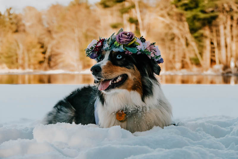 merle aussie wearing flower crown