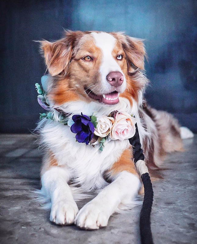 australian shepherd wearing flower crown
