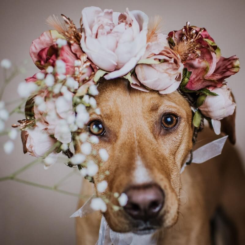 brown-dog-wearing-flower-crown