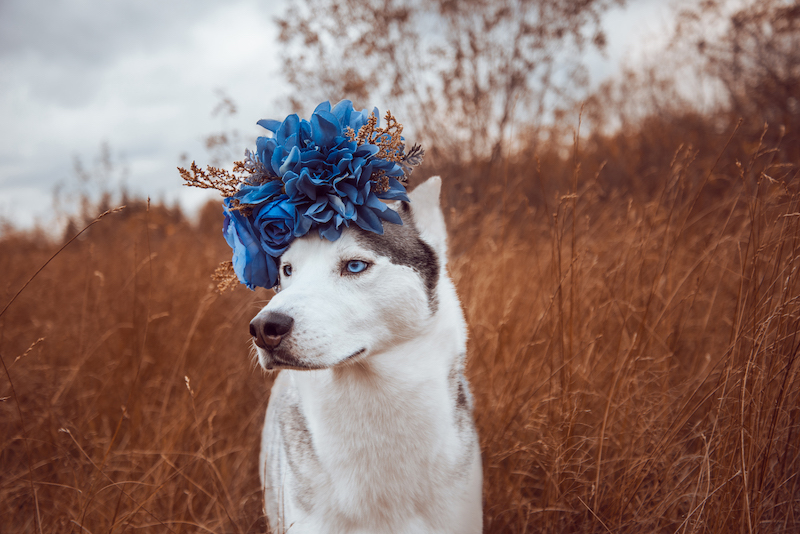 husky wearing a blue flower crown