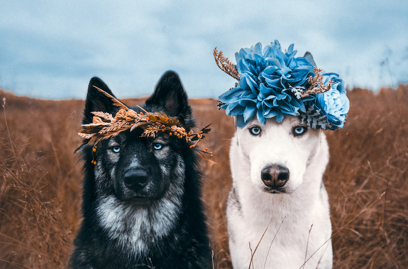 two huskys wearing flower crowns