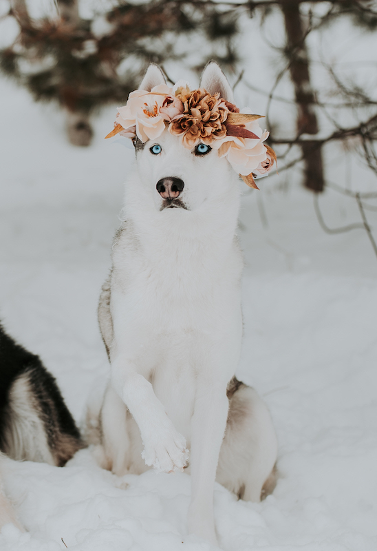 husky wearing a flower crown