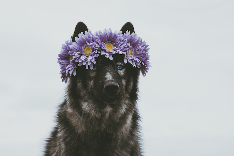 black husky wearing a flower crown