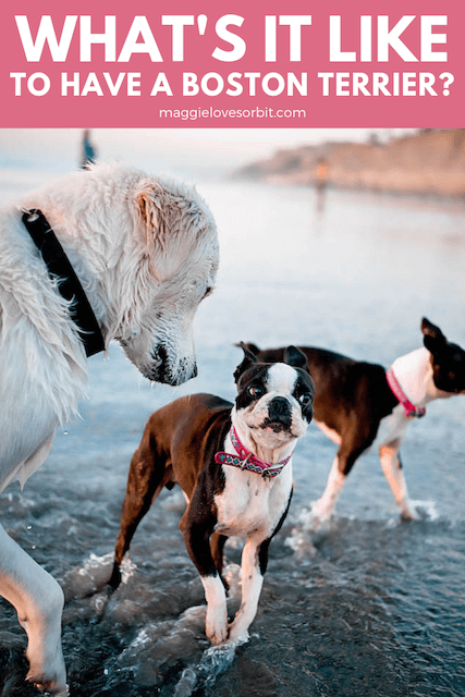 Boston Terrier Personality and Traits