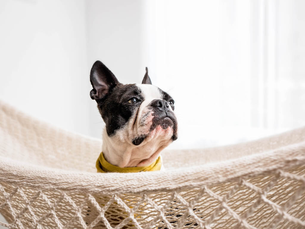What Is It Like To Have A Boston Terrier Maggielovesorbitcom