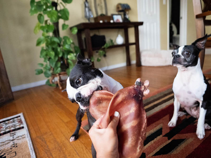 Can My Boston Terriers Eat Pig Ears