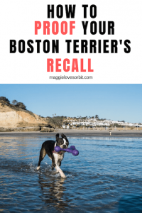 How To Bomb Proof My Boston Terrier's Recall