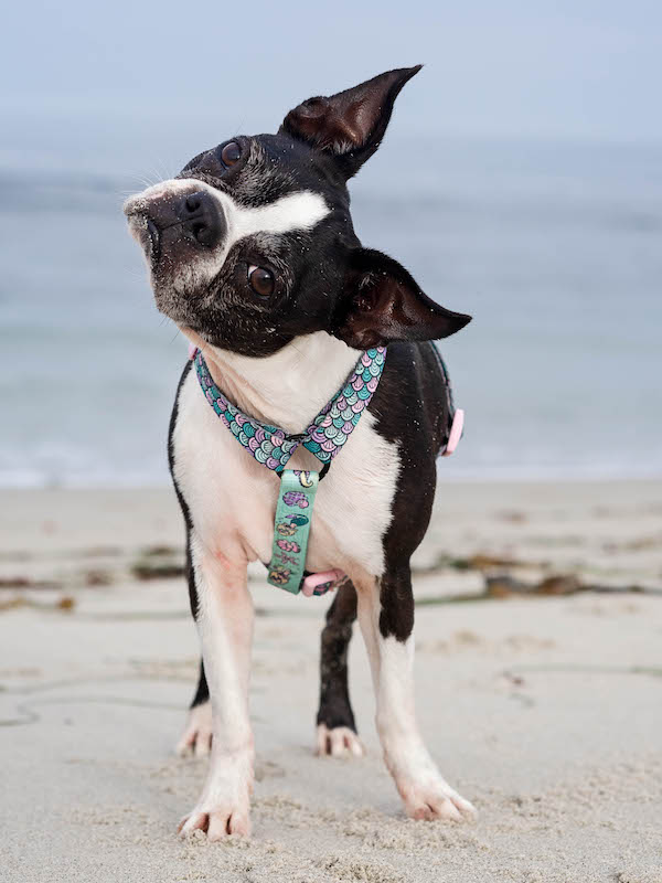 Can boston terriers eat lamb ear