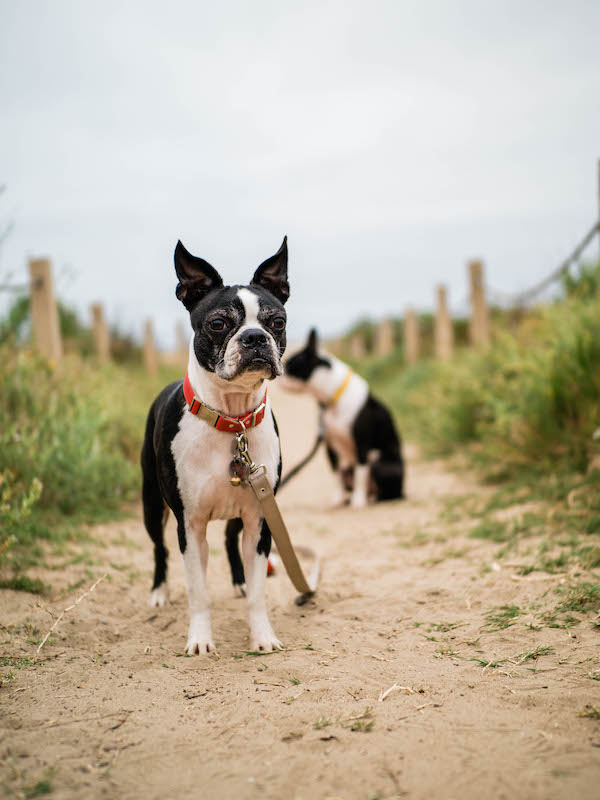 Can CBD Help My Boston Terrier Dog's Anxiety