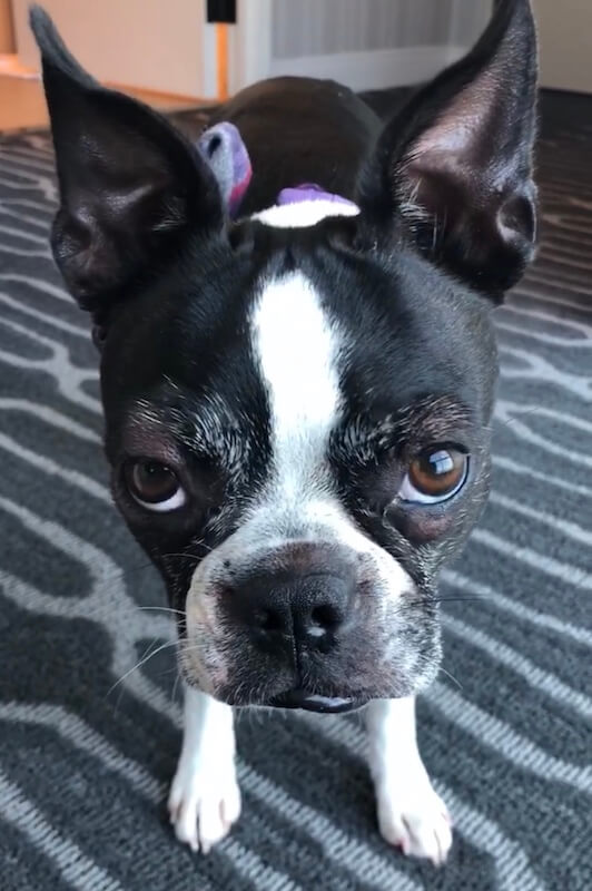 My Boston Terrier Broke Out In Hives