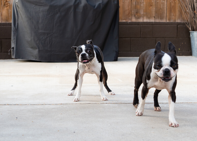can-boston-terriers-be-aggressive
