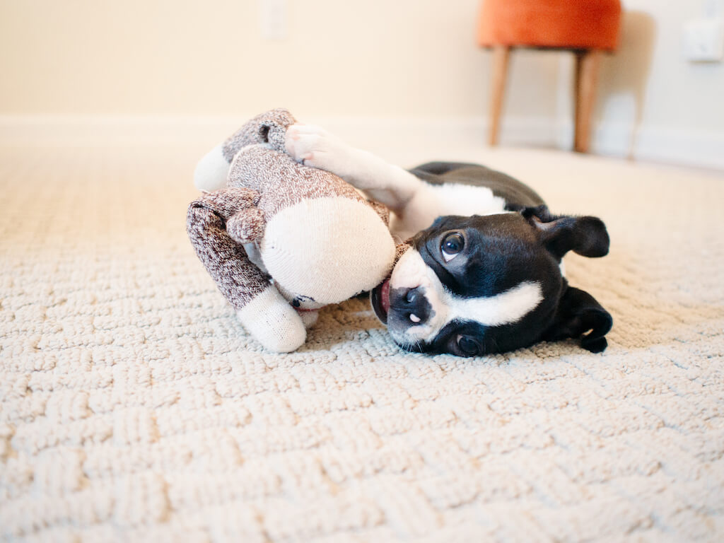 One Year After I Realized My Boston Terrier Is Reactive