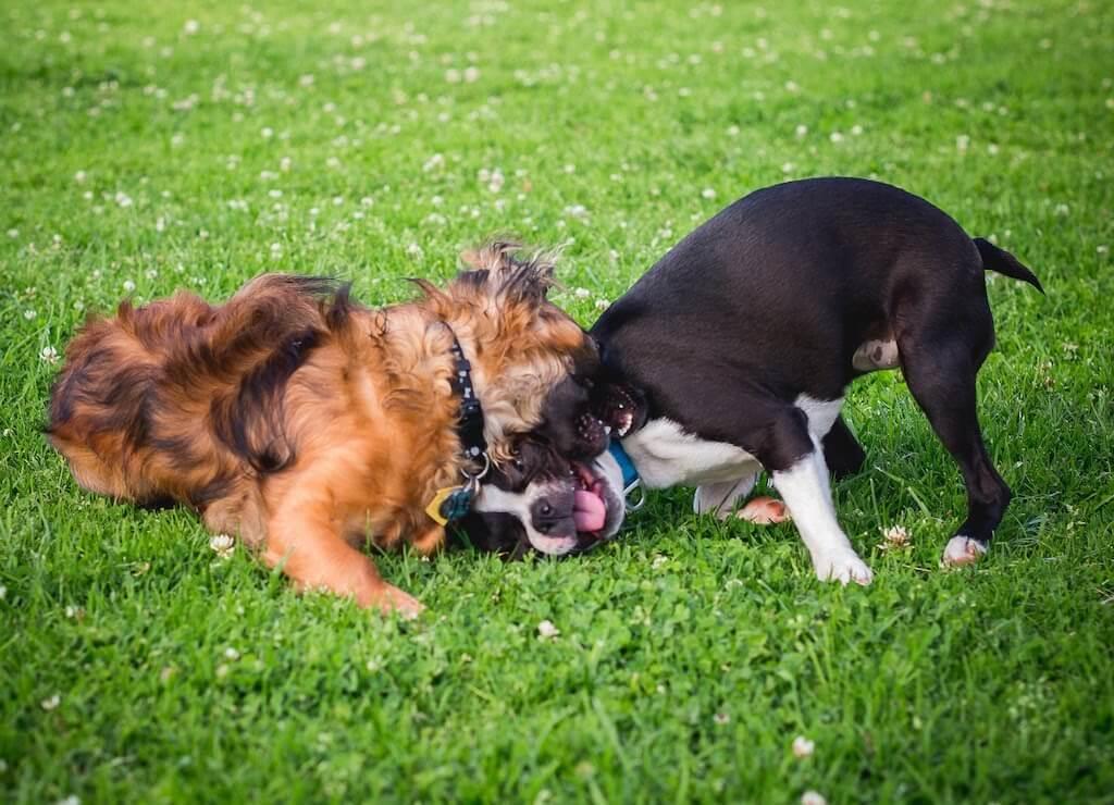 boston-terrier-reactive