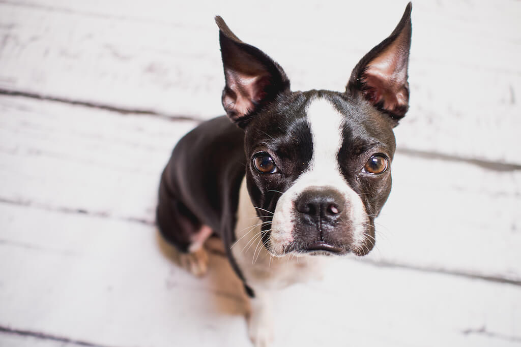 boston-terrier-reactive