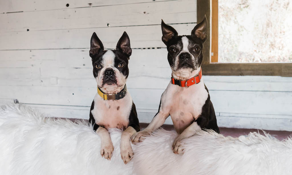 Boston Terrier Dog Blogger Journey 2020
