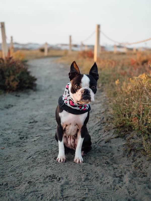 adding-second-boston-terrier-8-tips